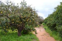 Albero arancione nel frutteto Immagini Stock