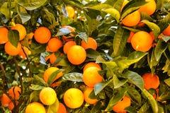 Albero arancione in pieno degli aranci Immagine Stock