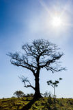 Albero asciutto con cielo blu ed il sole nella lampadina Fotografie Stock