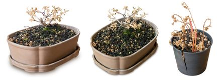 Albero asciutto dei bonsai in vasi rotti su fondo bianco immagine stock libera da diritti