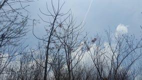 Albero asciutto nel cielo blu di estate Immagini Stock