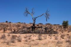 Albero asciutto nel deserto del Kalahari immagini stock