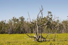 Albero asciutto nella palude dei terreni paludosi Fotografia Stock Libera da Diritti