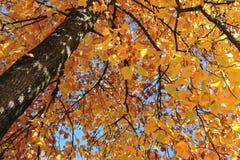 Albero autunnale con le foglie gialle Fotografie Stock