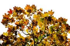 Albero in autunno Immagini Stock Libere da Diritti