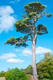 albero azzurrato del cielo Fotografia Stock