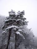 Albero bianco Immagine Stock