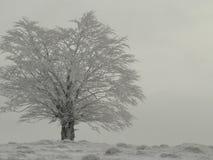 Albero bianco Fotografia Stock