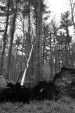 Albero bianco caduto in in bianco e nero Immagini Stock Libere da Diritti