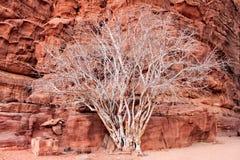Albero bianco in canyon di Khazali sul deserto di Wadi Rum Immagini Stock Libere da Diritti