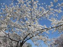 Albero bianco del fiore di ciliegia Fotografie Stock Libere da Diritti