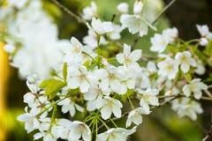 Albero bianco del fiore di ciliegia ad aprile Immagine Stock Libera da Diritti