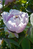 Albero bianco della peonia del fiore Immagine Stock Libera da Diritti