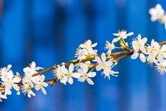 Albero bianco di fioritura in primavera Immagine Stock