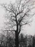 Albero, in bianco e nero fotografia stock libera da diritti