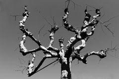Albero in bianco e nero con i rami arrabbiati Fotografia Stock