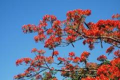 Albero boyant del fiore di Flam Immagini Stock