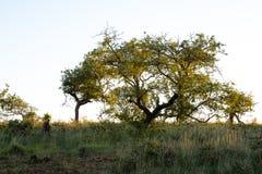 Albero in Bush africano immagine stock