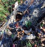 Albero caduto Fotografia Stock Libera da Diritti