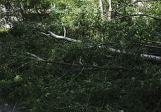 Albero caduto che si trova sull'erba verde nella foresta Fotografia Stock