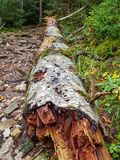 Albero caduto decomposto che mette su erba in Ordesa y Monte Perdido National Park, Huesca spain immagine stock libera da diritti