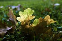 Albero caduto foglia di autunno Fotografia Stock Libera da Diritti