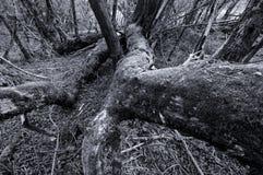 Albero caduto in foresta Fotografie Stock Libere da Diritti