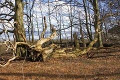 Albero caduto in foresta, Danimarca immagini stock libere da diritti