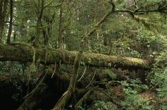 albero caduto in una foresta pluviale Fotografie Stock Libere da Diritti