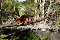 Albero-canguro nello zoo di Taronga, Syndey Australia fotografia stock libera da diritti