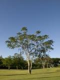 Albero caraibico Fotografia Stock