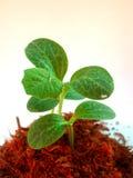 Albero che coltiva 11 Immagini Stock
