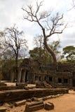 Albero che cresce sopra il tempio di Prohm di tum Fotografia Stock
