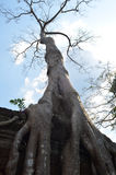 Albero che cresce sul tempiale dell'AT Prohm Angkor fotografia stock
