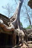 Albero che cresce sul tempiale dell'AT Prohm Angkor Immagini Stock