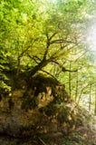 Albero che cresce sulla roccia Fotografie Stock