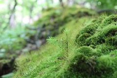 Albero che germoglia sul muschio Fotografia Stock