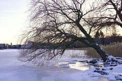 Albero che si china mare congelato a Helsinki immagine stock