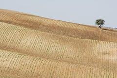 Albero che si leva in piedi da solo in un campo dell'azienda agricola Immagini Stock
