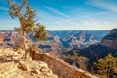 Albero che sopravvive sull'orlo della scogliera in Grand Canyon Fotografia Stock