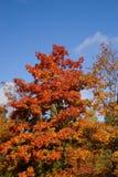 Albero chiaro di autunno Fotografia Stock Libera da Diritti