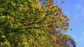 Albero commovente di autunno sul vento archivi video