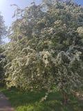 Albero con bianco e foglie verdi che sbocciano di estate fotografie stock libere da diritti