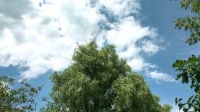 Albero con gli ondeggiamenti del fogliame fertile nel vento Gli uccelli volano accanto all'albero Nubi di galleggiamento video d archivio