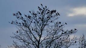 Albero con i corvi che stanno riposando nelle cime d'albero stock footage