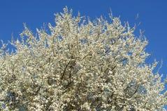 Albero con i fiori bianchi Fotografia Stock