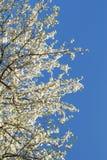 Albero con i fiori bianchi Fotografia Stock Libera da Diritti