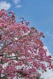 Albero con i fiori ed il cielo blu rosa fotografia stock