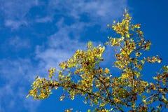 Albero con i fogli di autunno con cielo blu luminoso fotografia stock libera da diritti