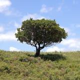 Albero con i fogli verdi Fotografia Stock